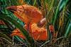 Scarlet Ibis Love