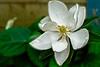 Magnolia Grandiflora Opening
