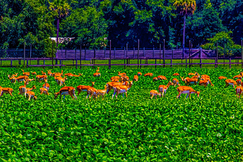 Critters in the field(Impala's). Driving down the road towards Silver Springs saw what I thought was a herd of Deer in the middle of the day. So i had to turn around to check it out. I still have no idea what they are but there was a small sign saying licensed hunting preserve.