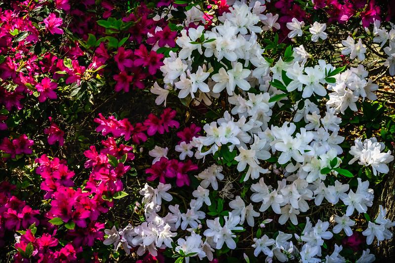 Red and White Azaleas