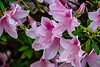 Pink Azaleas Spring Flowers