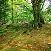 Mossy Tree, Maruyama Park - Kyoto, Japan