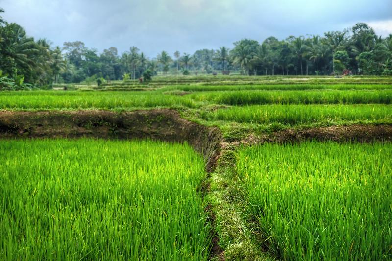 Rice fields at Licin