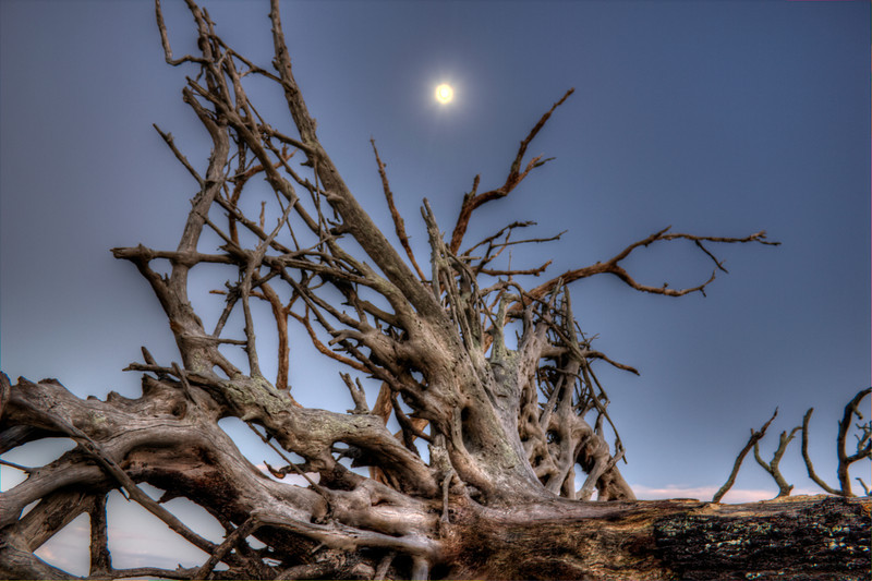 Mooning Driftwood Beach Jekyll Island Ga. How many faces can you see? To the left a bird  squawking, in the middle a gator with it mouth in the log, a Mardi Gras mask and just right of it an alien face... This is Jekyll Island how many spirits have been sent to and frozen in time here. Photomatrix HDR. Canon T2i