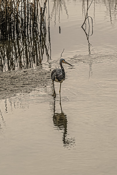 Tricolor Heron on a Murky Day