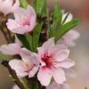 Peach Flowers in Bloom
