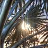 Sunlight Palm