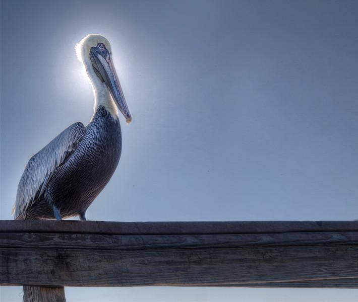 Nigel, the pelican