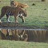 Ranthambhore tigers n (23)