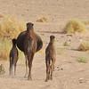 Busy mamma camel