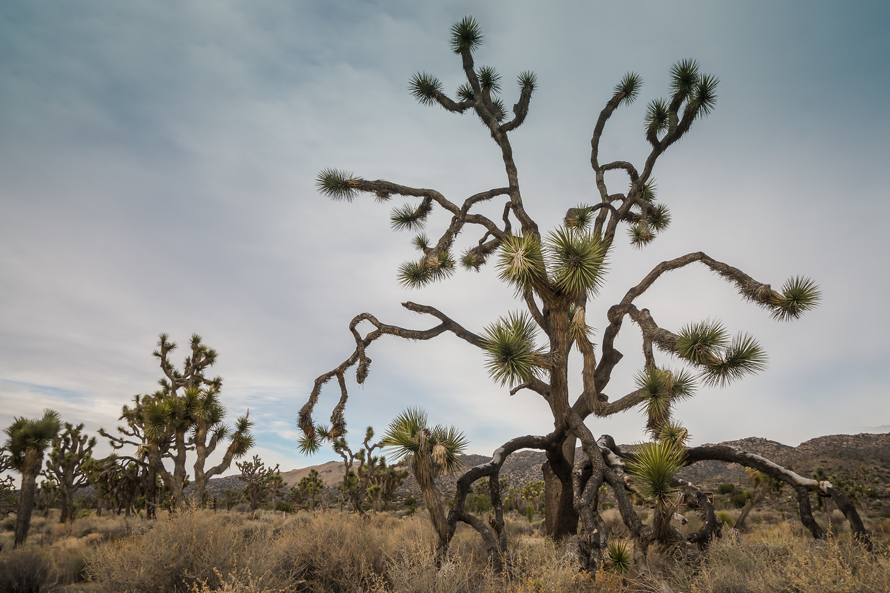 Joshua Trees dot the landscape
