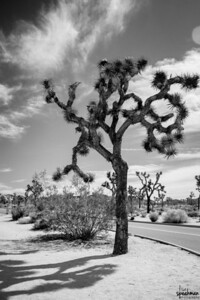 I'm finding myself digging black and white lately.  Joshua Trees.