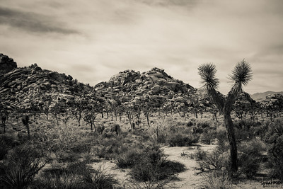 A field of Joshua Trees.