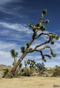 First shot of a Joshua Tree at Joshua Tree National Park.  It's leaning just a bit. :)