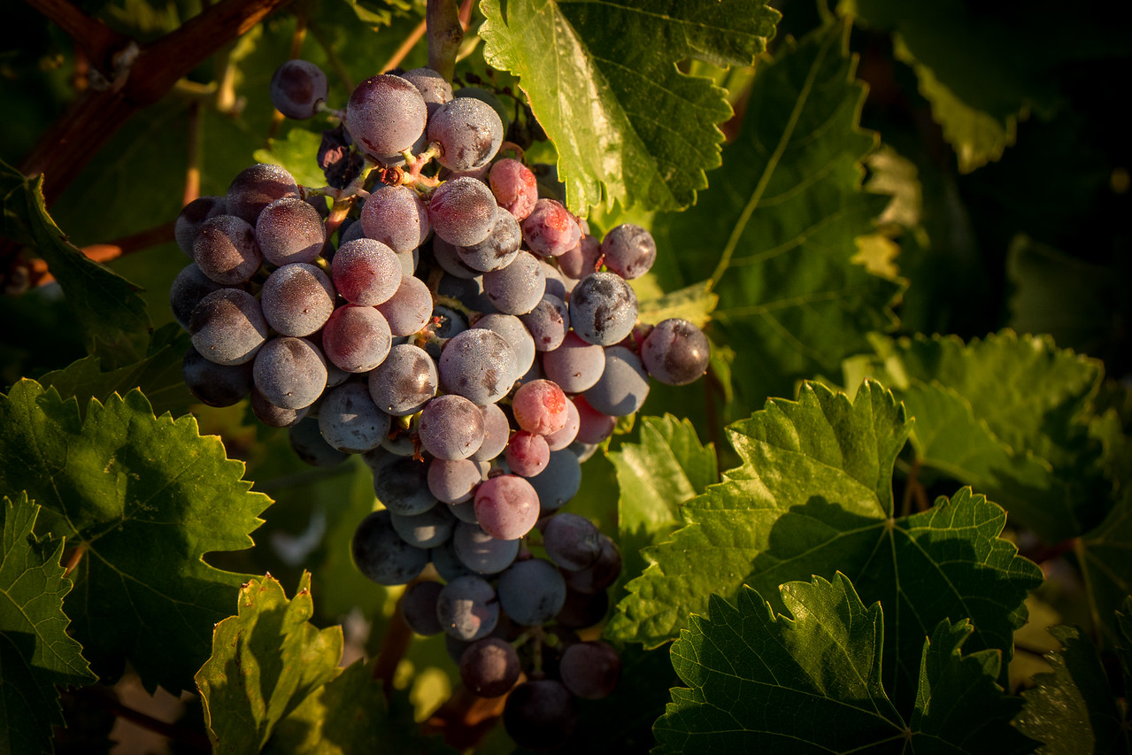 A cluster of grapes in the sun
