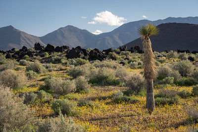 Lone Joshua Tree on Route 395