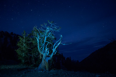 Bristlecone Pine at Night
