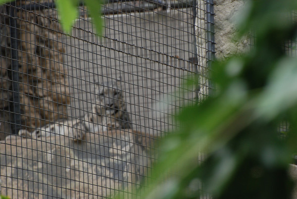 This is a rare snow leopard.  I took this from atop the tour bus and was just barely able to see it towards the back of it's enclosement.