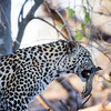 Leopard With Barbel Fish
