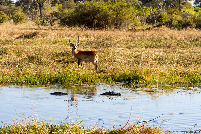 Red Lechwe and Hippo
