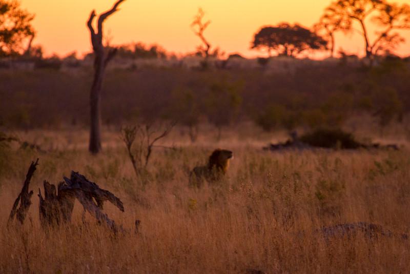 Lion at Sunset