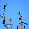 Misfit White Stork