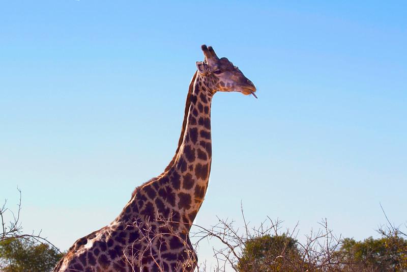Giraffe Doobie