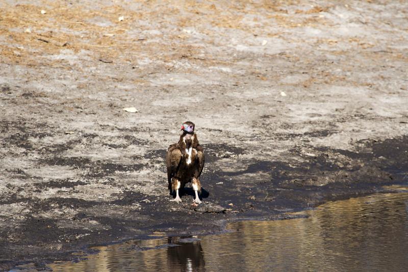 Vulture eating Barbel Fish