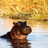 Hippo, Okavango Delta, Botswana Africa