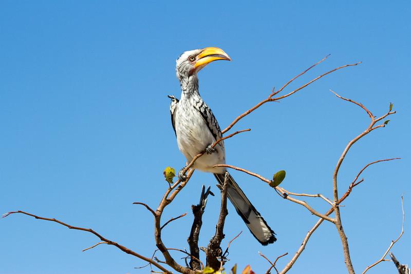 Yellow Billed Hornbill in Tree