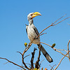Yellow Billed Hornbill in Tree