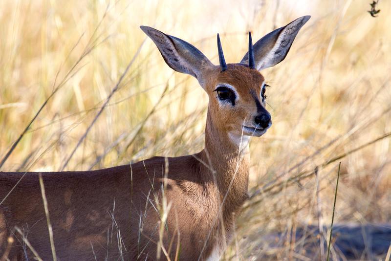 Little Springbok