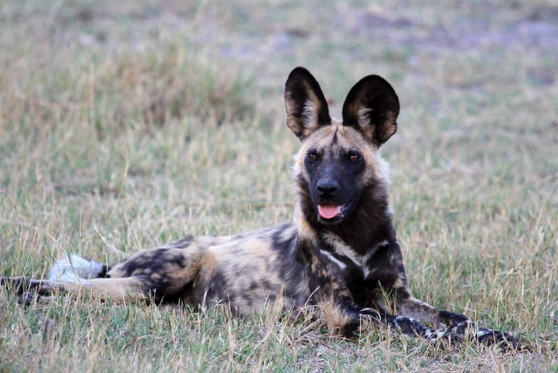 Endangered Wild Dog