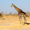 Giraffes, three, grazing, family, Savuti Elephant Camp, OrientExpress Safaris, Chobe National Park, Botswana, Africa