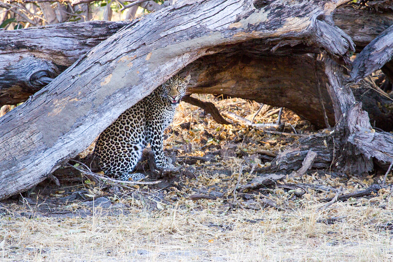 Leopard Resting in Shade of Downed Tree