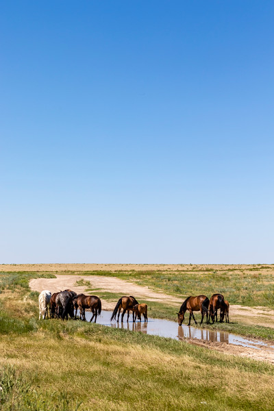 Wild horses on the wide grasslands in Kazakhstan - Central Asia