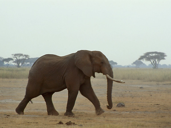 Elephant at Amboseli National Park