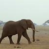 Elephant at Amboseli National Park