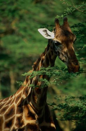 Rothschild Giraffe Feeding at Nakuru