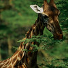 Rothschild Giraffe Feeding at Nakuru