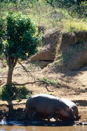 Hippo Calves at Livingston Lodge