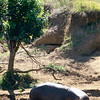 Hippo Calves at Livingston Lodge