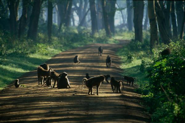 Baboons on Road at Nakuru
