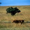 Lioness on Masaai Mara