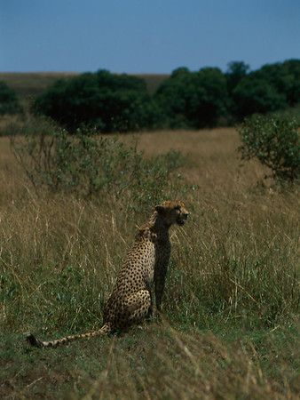 Female Cheetah on the Masaai Mara