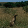 Female Cheetah on the Masaai Mara