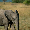Baby Elephant on Masaai Mara