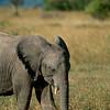 Baby Elephant on Masaai Mara