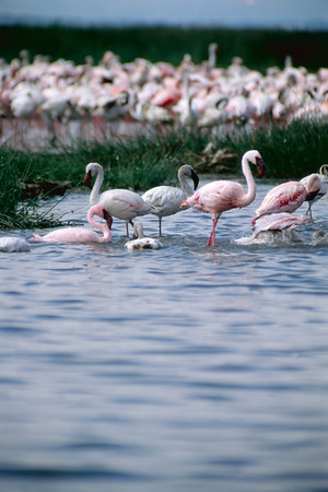Flamingoes at Lake Nakuru