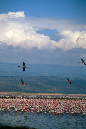Flamingoes in Flight - Lake Nakuru